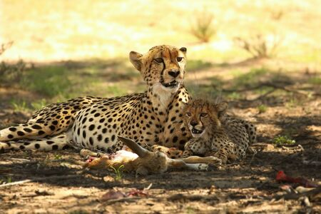 Cheetah (Acinonyx jubatus) family, mother with cute baby after hunt eating springbok in the shade under the tree. Green background.