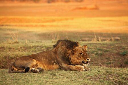 Een leeuwmannetje (Panthera leo) dat in droog grasland ligt en de rest van zijn trots zoekt in de ochtendzon. Zambia, Zuid-Luangwa. Stockfoto