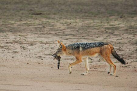 The black-backed jackal (Canis mesomelas) walking in dry Kalahari sand. The black-backed jackal after hunt with loot (death genette) in evening sun. Stok Fotoğraf