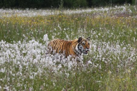 The Siberian Tiger (Panthera tigris Tigris) or Amur Tiger (Panthera tigris altaica) in the grassland. Tiger with yellow background. Tiger hidden in flowers. Stock Photo