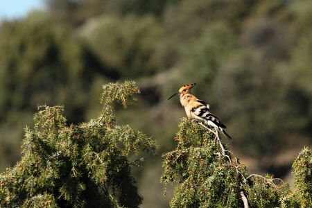 The Hoopoe (Epupa epops) calmly sitting on the green branch. The Hoopoe in the morning sun with bluse sky in the background.