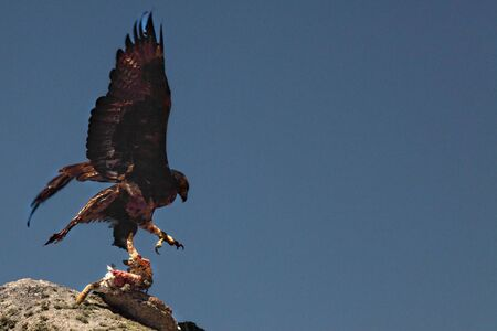 The golden eagle (Aquila chrysaetos) after hunt with the death rabbit. The golden eagle on the rock in evening sun. Imagens