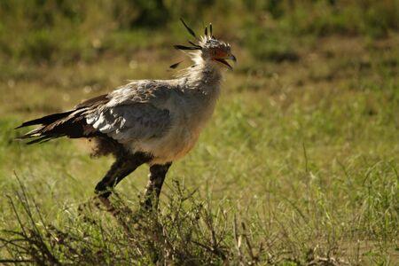 The secretary bird (Sagittarius serpentarius) walking trough the grass with open beak. The secretary bird is hunting the snake.