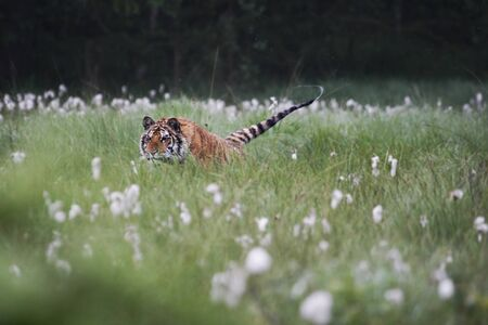 The Siberian tiger (Panthera tigris Tigris), or  Amur tiger (Panthera tigris altaica) in the grassland. Tiger with yellow background. Tiger hidden in flowers.
