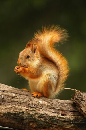 A red squirrel (Sciurus vulgaris) also called Eurasian red sguirrel sitting in branch in a green forest. Squirrel looking for the food with a green background
