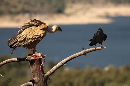 The Griffon vulture (Gyps fulvus) with a Common raven (Corvus corax) with a death rabbit. The raven is trying to steal the prey of the Griffon vulture. Blue background.