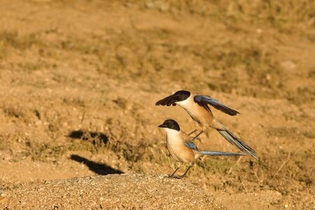 Two Iberian magpies (Cyanopica cooki) coupling on the dry golden grass. The Iberian magpies  with a golden background.