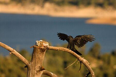 Der Kolkrabe (Corvus Corax) landet mit einem Todeskaninchen auf dem Ast. Der Rabe versucht, die Beute des Gänsegeiers zu stehlen. Blauer Hintergrund. Standard-Bild
