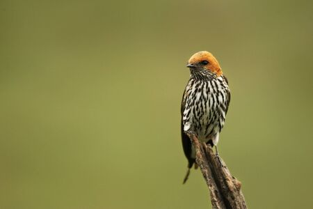 The lesser striped swallow (Cecropis abyssinica) sitting on the branch. Green background.