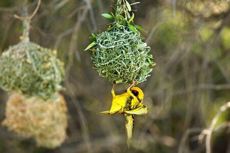 Un tejedor enmascarado del sur, el tejedor africano enmascarado (Ploceus velatus) construye el nido. Weaver cuelga del nido.