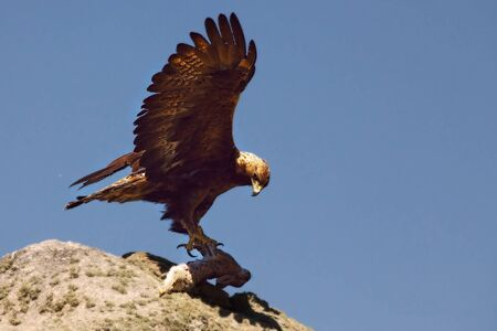 The golden eagle (Aquila chrysaetos) after hunt with the death rabbit. The golden eagle on the rock in evening sun hides the rabbit.