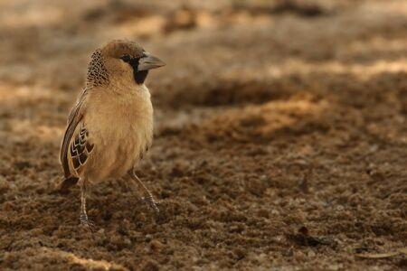 The sociable weaver (Philetairus socius), also known as the common social weaver, common social-weaver, and social weaver sitting in the sand in Kalahari desert. Sociable weaver in the shade.