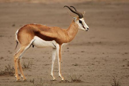Young springbok (Antidorcas marsupialis) walking on red sand in Kalahari desert in evening sun. Sand in background.