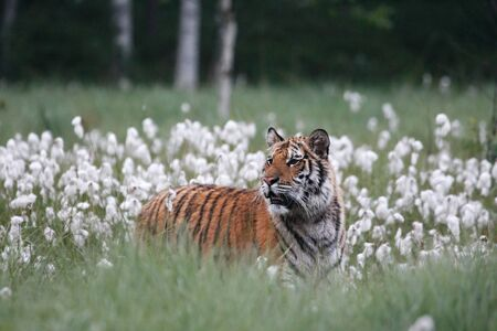 The Siberian Tiger (Panthera tigris Tigris) or Amur Tiger (Panthera tigris altaica) in the grassland. Tiger with yellow background. Tiger hidden in flowers. Banque d'images - 138092840