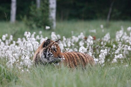 The Siberian Tiger (Panthera tigris Tigris) or Amur Tiger (Panthera tigris altaica) in the grassland. Tiger with yellow background. Tiger hidden in flowers. Banque d'images - 138092960
