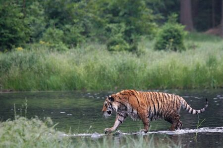 The Siberian tiger (Panthera tigris Tigris), or  Amur tiger (Panthera tigris altaica) in the forest walking in a water. Tiger with green background. Banque d'images - 138093725
