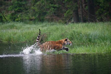 The Siberian tiger (Panthera tigris Tigris), or  Amur tiger (Panthera tigris altaica) in the forest walking in a water. Tiger with green background. Banque d'images - 138092337