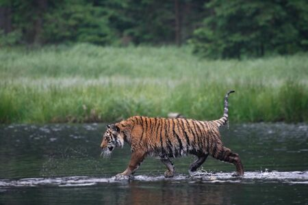 The Siberian tiger (Panthera tigris Tigris), or  Amur tiger (Panthera tigris altaica) in the forest walking in a water. Tiger with green background. Banque d'images - 138093097