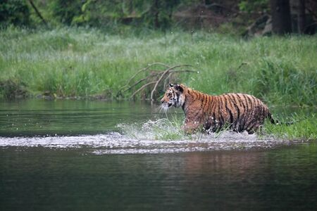 The Siberian tiger (Panthera tigris Tigris), or  Amur tiger (Panthera tigris altaica) in the forest walking in a water. Tiger with green background. Banque d'images - 138092871