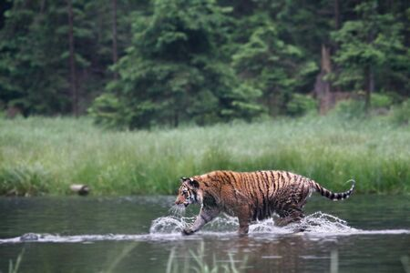 The Siberian tiger (Panthera tigris Tigris), or  Amur tiger (Panthera tigris altaica) in the forest walking in a water. Tiger with green background. Banque d'images - 138093140