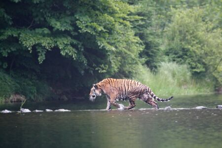 The Siberian tiger (Panthera tigris Tigris), or  Amur tiger (Panthera tigris altaica) in the forest walking in a water. Tiger with green background. Banque d'images - 138092360