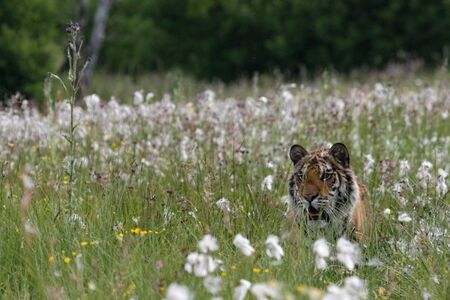 The Siberian Tiger (Panthera tigris Tigris) or Amur Tiger (Panthera tigris altaica) in the grassland. Tiger with yellow background. Tiger hidden in flowers. Banque d'images - 138093153