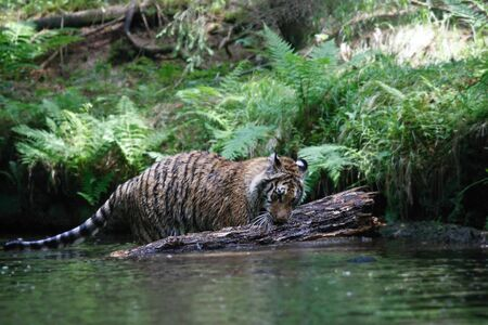 The Siberian tiger (Panthera tigris tigris) or Amur tiger (Panthera tigris altaica) in the forest. Tiger with green background. Tiger on a stone. | Banque d'images - 138092305