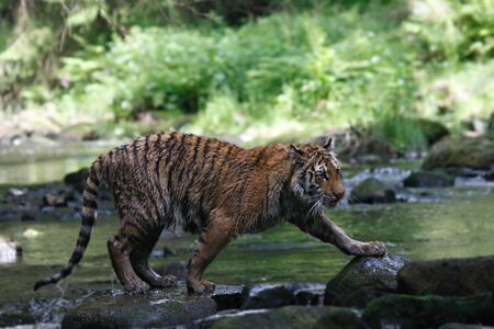 The Siberian tiger (Panthera tigris tigris) or Amur tiger (Panthera tigris altaica) in the forest. Tiger with green background. Tiger on a stone.   Banque d'images - 138092564