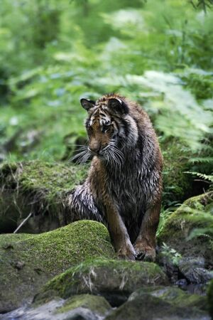 The Siberian tiger (Panthera tigris tigris) or Amur tiger (Panthera tigris altaica) in the forest. Tiger with green background. Tiger on a stone. | Banque d'images - 138093678