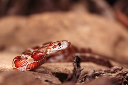 The corn snake (Pantherophis guttatus or Elaphe guttata) before attack on the stone, dry grass and dry leaves round. Up to close. Red, brown and yellow color snake.