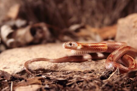 The corn snake (Pantherophis guttatus or Elaphe guttata) is lying on the stone, dry grass and dry leaves round. Up to close. Red, brown and yellow color snake. Zdjęcie Seryjne