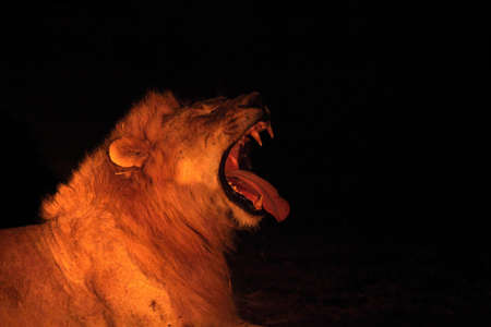 A Lion male (Panthera leo) lying in dry grassland and looking for the rest of his pride in the dark night. Lion male is roaring, open mouth, big teeth. Zambia,