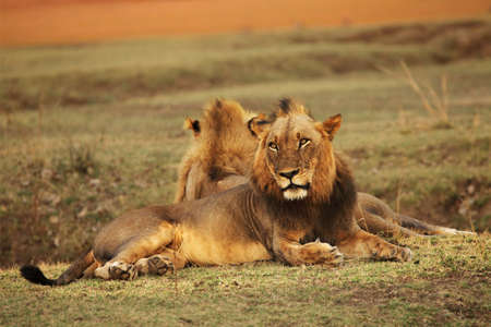 Two Lion males (Panthera leo) lying on the green grassland and looking for the rest of his pride. Zambia, South Luangwa.