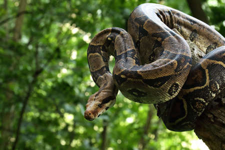 The boa constrictor (Boa constrictor), also called the red-tailed boa or the common boa, on the old branche in green forest. Green background.