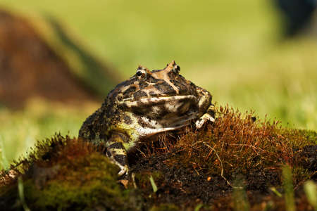 The Horned frog (Ceratophrys ornata), also known as wide-mouthed frog, or ornate frog, sitting on a red moss with a mouse. Green background. Morning sun and a brown branch in the background. Imagens