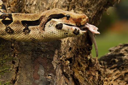 The boa constrictor (Boa constrictor), also called the red-tailed boa or the common boa, on the old branch after hunt eating a rat. Brown and green background.n green forest. Green background.