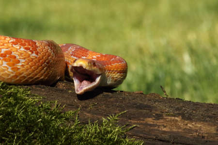 A Corn snake (Pantherophis guttatus or Elaphe guttata) after hunt eating a mouse. A red, orange and yellow Corn snake on the wood with a green moss and green background.