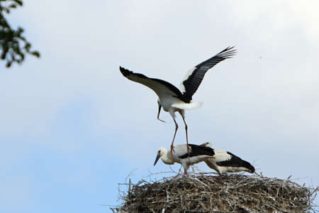 Group of the white storks (Ciconia ciconia) building the nest. Blue sky in the background.