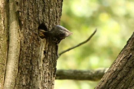 The Spreeuw / Starling (Sturnus vulgaris) on the nest by feeding. Green background. S spreeuw baby in the nest.