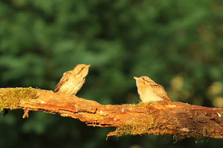 The Eurasian Wryneck baby with a parent (Jynx torquilla) on the old branch up to close. Old gray branch, green background. The Eurasian Wryneck in the morning sun.