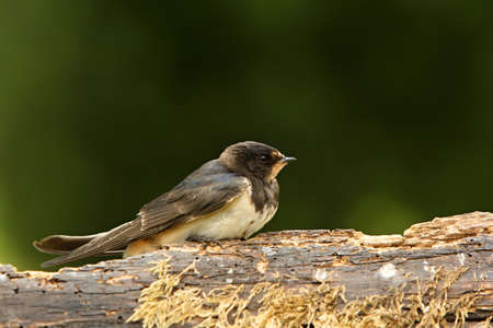 The young Barn Swallow (Hirundo rustica) sitting on the old branch in the evening sun. Green background.