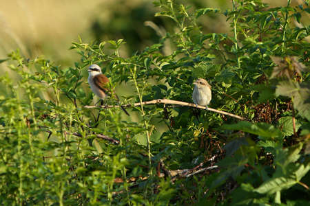 The pair of Red-backed Shrike (Lanius collurio) sitting on the small rose bush close to the nest. Morning sun, green background. Imagens