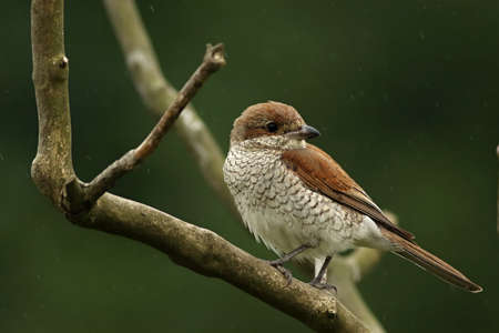 The Red-backed Shrike (Lanius collurio) female sitting on the small branch. Rain drops around, green background.