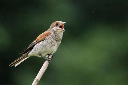 The Red-backed Shrike (Lanius collurio) female sitting on the small branch and singing. Open beak, rain drops around, green background.