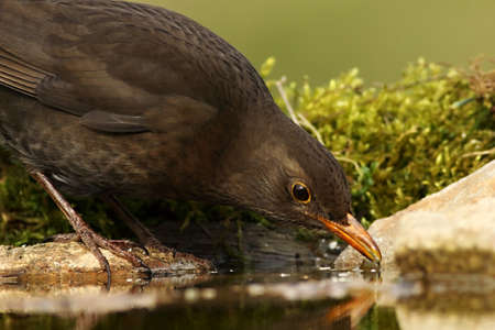 The common blackbird (Turdus merula) female staying on the stone and drinking a water. Green moss around. Green background.