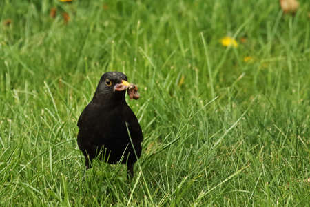 The common blackbird (Turdus merula) male in the green grass with worms in his beak. The common blackbird sitiing in the grass. Green background.