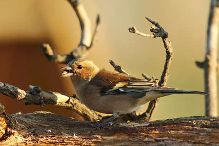 The common chaffinch or simply the chaffinch (Fringilla coelebs) with a sunflower seed sitting on the old branch. Morning sun. Brown and yellow background.