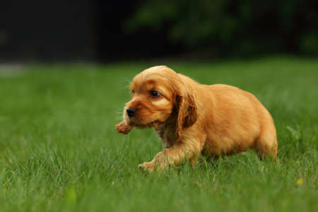 Amazing, newborn and cute red English Cocker Spaniel puppy detail. Red Imagens