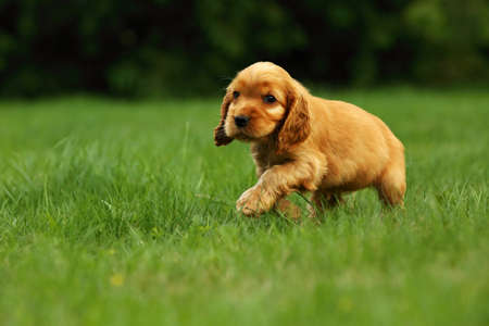 Amazing, newborn and cute red English Cocker Spaniel puppy detail. Small and cute red Cocker Spaniel puppy running in the green grass, morning sun. Green background. Imagens