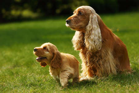 Amazing, newborn and cute red English Cocker Spaniel puppies with her mother. Red English Cocker Spaniel puppies. Green background. Morning sun.
